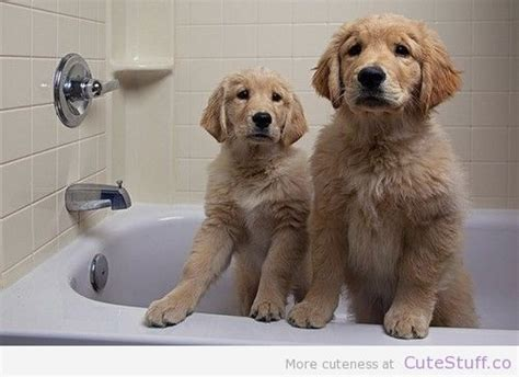 do golden retrievers smell 17 best images about i golden retrievers on golden retriever rescue