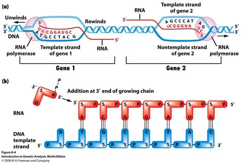 how is the template strand for a particular gene determined dna coding strand quotes