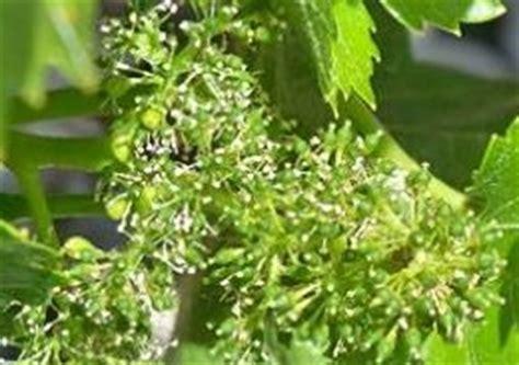 vine fiore di bach le forme dei fiori di bach