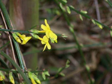 pianta fiori gialli profumati gelsomino giallo piante da giardino gelsomino giallo