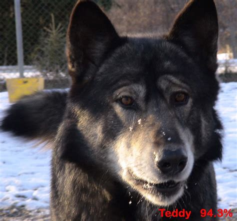 blooded wolf puppies for sale in mackenzie valley wolf puppies for sale just b cause