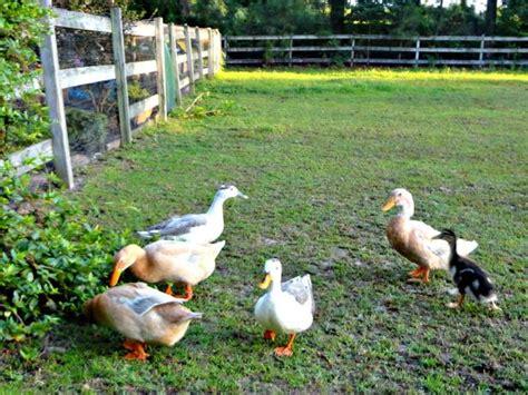 ducks in backyard how toxic plants can harm backyard ducks hgtv