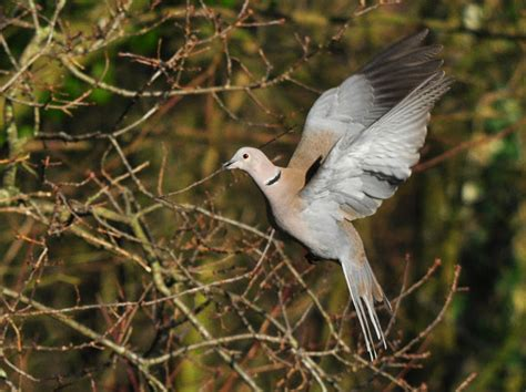 two in a bush nest building collared doves