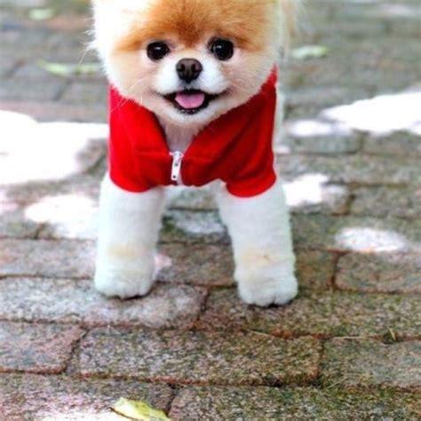 teddybear pomeranian teddy pomeranian so precious