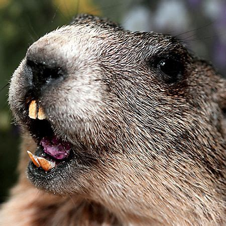 what does buck up 17 best images about groundhog day february 2nd on