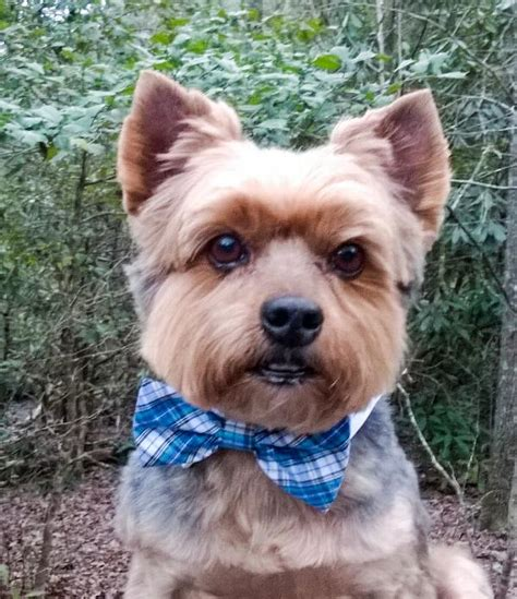 Collar Shirt With Bow Tie Blue isaac shirt collar and bow tie blue and yellow plaid baxterboo
