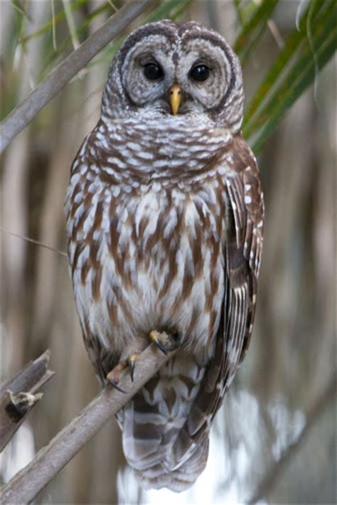 mr mrs barred owl fun facts about barred owls