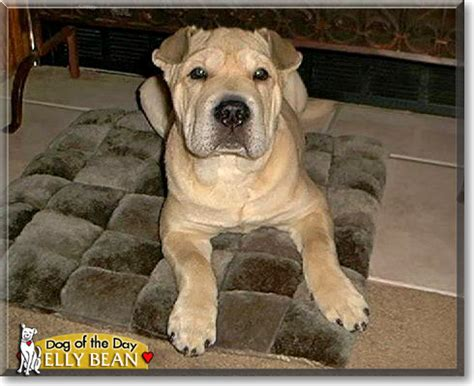 shar pei pitbull mix puppies shar pei american pit bull terrier mix picture photo breeds picture