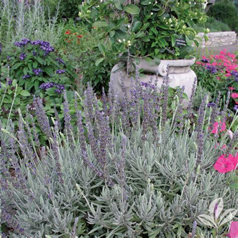 Lavender Creek lavender goodwin creek silverleaf greenhouses