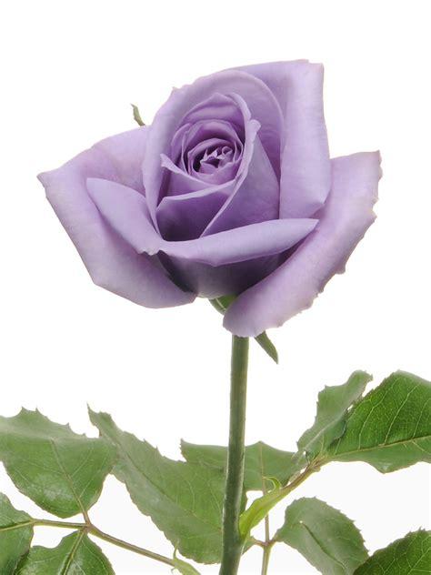 imagenes de rosas moradas y azules 世界初の青いバラ blue rose applause アプローズ 北米での発売開始 2011 9 14 ニュース