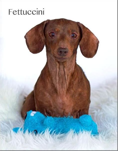 Fettuccini is available for adoption at www.ddrtx.org ...