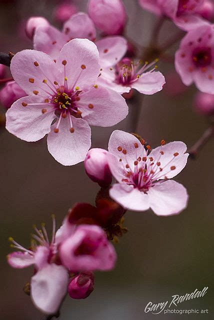 when did japan give us cherry blossoms 25 best ideas about blossoms on pinterest pink flowers