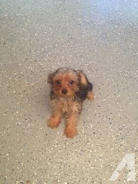 yorkie 6 weeks ckc yorkie 6 weeks for sale in madisonville tennessee classified
