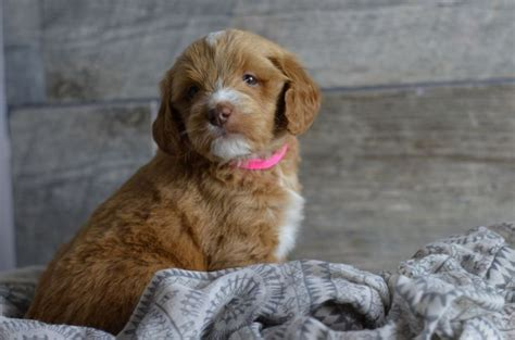 goldendoodle puppy for sale wisconsin medium mini goldendoodle puppies for sale in