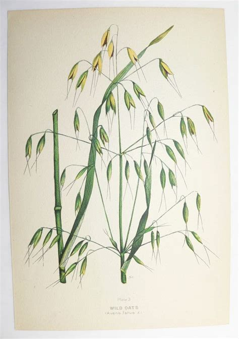 wild oats tattoo vintage botanical print oats grass green 1923