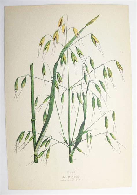 wild oats tattoo vintage botanical print oats grass green 1923