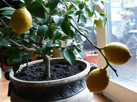 coltivazione dei limoni in vaso terreno per agrumi materiali per il giardino