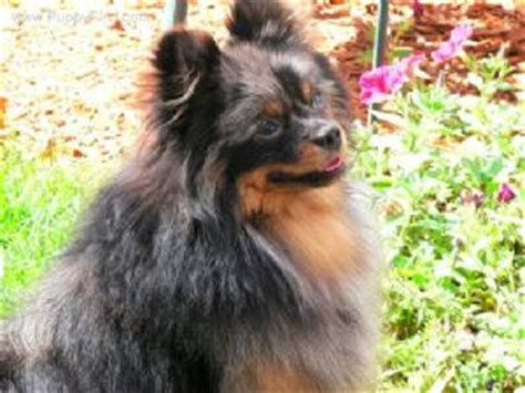 pomeranian puppies for sale in green bay wi puppies in wisconsin