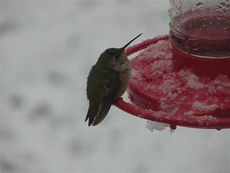 immature female rufous hummingbird aka sandy during