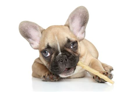how should a puppy chew on a bully stick why bully sticks are a great treat for dogs american kennel club