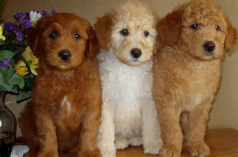 poodle doodle puppies for sale yorkie poodle chihuahua mix breeds picture