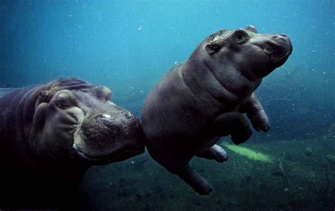 Baby Wear Hippo Swim baby animal picture hippo learning to swim with hd wallpaper projetos para experimentar