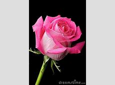 Hot Pink Rose On Black Background Stock Images - Image ... Hot Dog Clipart Black And White