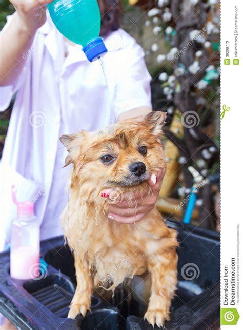 how to bathe a pomeranian at home bath time for brown pomeranian shower stock photos image