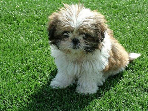Small Breeds That Don T Shed by Small Breeds That Don T Shed That Stay Small Breeds Puppies