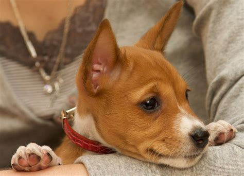 basenji puppy cost basenji puppy pictures png