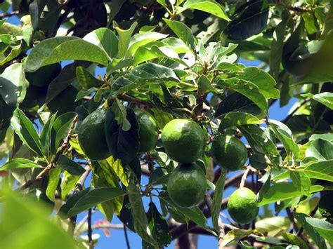 fruit l avocat legumes et fruits l avocat le fruit n 232 fle du japon