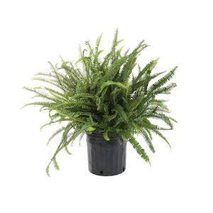gallon  pot kimberley queen fern ltl  lowes