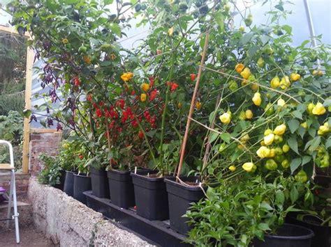 self watering tomato planter