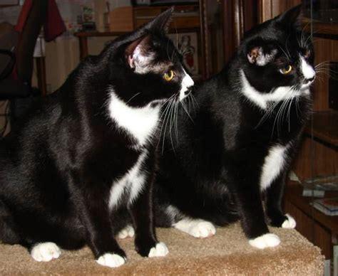 tuxedo cat pictures cute cats