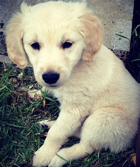 puppy golden retriever for adoption looking for golden retriever to adopt dogs our friends photo