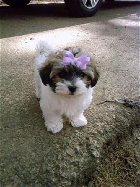 havanese maltese mix puppies exploring maltesemaniac images femalecelebrity