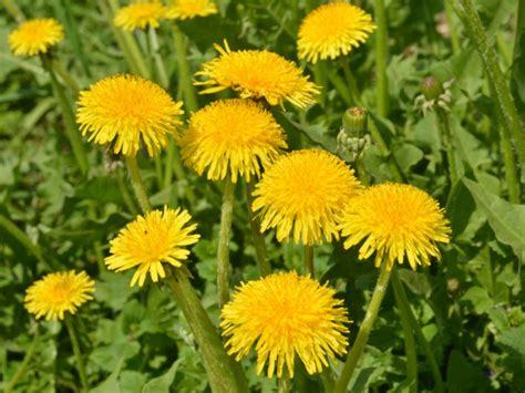 dandelion facts 13 surprising benefits of dandelion organic facts