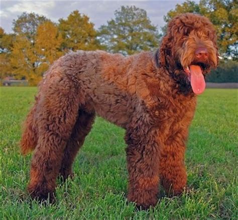 mastidoodle puppies for sale large poodle mix breeds breeds picture