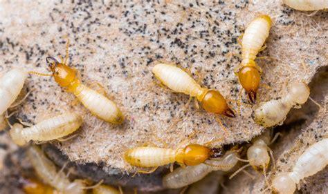 drywood termite control pest control chemicals