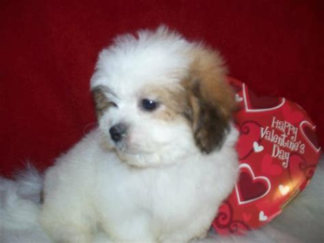 shichon puppies for sale in ga teddy puppies for sale in breeds picture