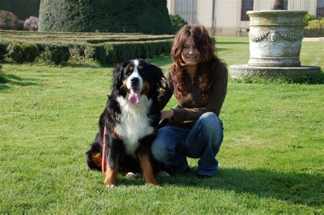 puppy size bernese mountain info temperament puppies pictures