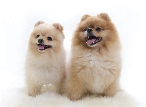 pomeranian and children 10 things you should before owning a pomeranian top 10 lists listland
