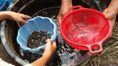 Pakan Larva Ikan Gabus 10 cara budidaya ikan gabus agar menghasilkan panen yg