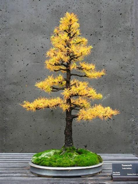 Bonsai Baum Kaufen 38 by Bonsai Baum Kaufen Und Richtig Pflegen Einige Wertvolle