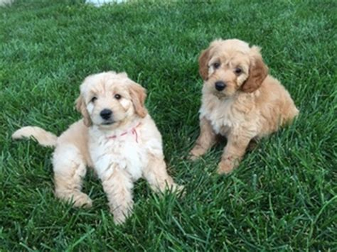 golden retriever and poodle mix for sale view ad golden retriever poodle mix puppy for sale missouri lees summit