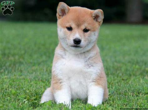 shiba inu puppies nyc best 25 shiba inu for sale ideas on akita inu puppy shiba puppy and