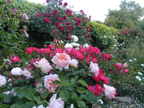 the little hausfrau roses