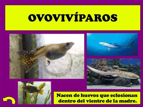 imagenes de animales oviparos viviparos y ovoviviparos presentaci 243 n animales