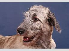 Irish Wolfhound | Dogs | Breed Information | Omlet Irish Elk