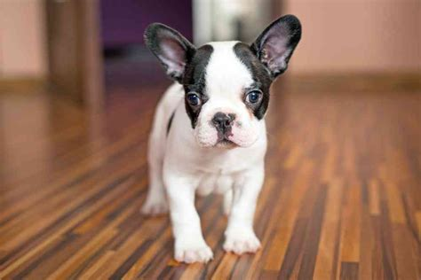 how much do bulldog puppies cost bulldog price how much do bulldogs cost ultimate home